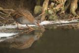 D4S_9237F waterral (Rallus aquaticus, Water rail).jpg