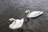 Swans Holyrood lake