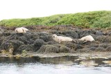Seals by  Dunvegan