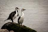 Pied Cormorants