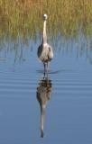 Heron, Myakka State Park