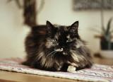 Cat  # 2 Nimue