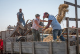 Loading the threshing machine