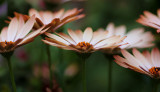 In NZ these daisies sometimes flower in winter.   Brilliant, aren't they?