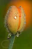 Poppy bud and rain drops