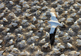 Mother / father Gannet looking down for the mate who is minding their egg, or hatched baby