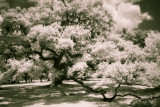 Live Oak on the grounds of Mepkin Abbey