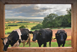 Cows in the frame