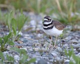 9-11-2015 Killdeer at Belfair State Park