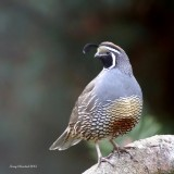 10-17-2015 California Quail  - the lookout