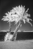 Palms on the lakeshore