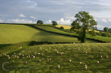 Light across the field with sheep grazing