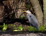 Great Blue Heron in the wilds of Edmonds