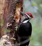 Male Pileated Woodpecker - Edmonds Marsh