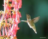 6-30-2016 Female Annas Hummingbird in Woodway, Washingtonback yard_6914.JPG