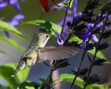 Female Annas hummingbird