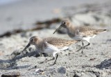 10-22-2016 Dunlins at Discovery Park