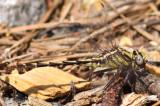 Cocoa Clubtail Gomphurus hybridus