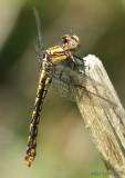 Appalachian Snaketail Ophiogomphus incurvatus