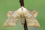 Walnut Sphinx Amorpha juglandis #7827