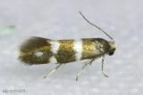 Phylloporia bistrigella #0183