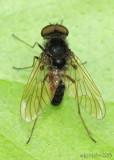 Fly family Rhagionidae Chrysopilus proximus