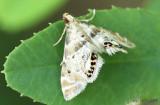 Petrophilia fulicalis #4777.79