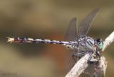 Unicorn Clubtail Arigomphus villosipes