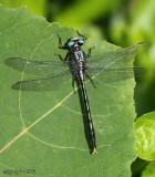 Lilypad Clubtail Arigomphus furcifer