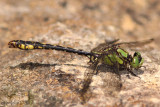 Maine Snaketail Ophiogomphus mainensis