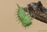 Treehopper nymph