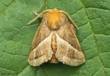 Nason's Slug Moth Natada nasoni #4679