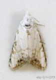 Sorghum Webworm Moth Nola cereella #8991
