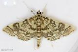 Checkered Apogeshna Moth Apogeshna stenialis #5177