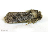 Clemens' Grass Tubeworm Moth Acrolophus popeanella #0373
