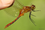 Cherry-faced Meadowhawk Sympetrum internum