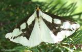 Leconte's Haploa Moth Haploa lecontei #8111