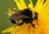Yellow-banded Bumble Bee  Bombus terricola