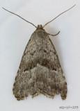 Broken-line Hypenodes Moth Hypenodes fractilinea #8421