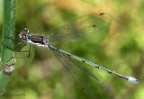 Northern Spreadwing Lestes disjunctus