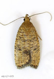 Oak Leaftier Moth Psilocorsis quercicella #0955