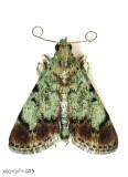 Dimorphic Macalla Moth Epipaschia superatalis #5577