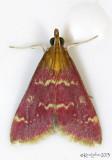 Raspberry Pyrausta Moth Pyrausta signatalis #5034