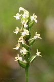 Green Wood Orchis  Platanthera clavellata