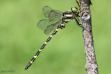 Tiger Spiketail Cordulegaster erronea