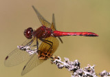 Band-winged Meadowhawk Sympetrum semicinctum