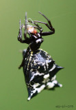 Spined Micrathena  female Micrathena gracilis