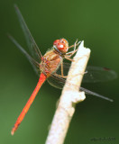 Autumn Meadowhawk Sympetrum vicinum