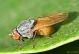 Fly - Minettia lupulina
