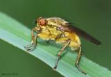 Dung Fly Scathophaga stercoraria